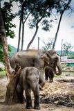 Elefantfamiljgruppen med modern och två behandla som ett barn Fotografering för Bildbyråer