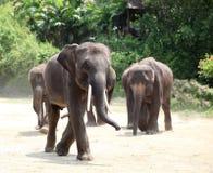 elefantflock Arkivfoton
