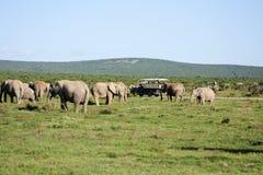elefantflock Royaltyfria Foton