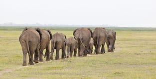 Elefantflock i Kenya Arkivfoton