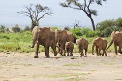 Elefantflock i Kenya Arkivbild