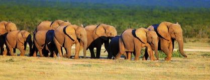 Elefantflock på öppna gröna slättar Royaltyfri Bild