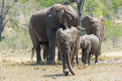 Elefantflock på ett bevattna hål med den unga elefanten som undersöker royaltyfri foto
