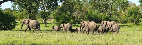 Elefantflock på flyttningen arkivfoton