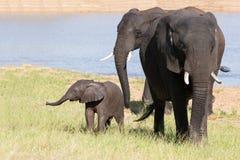 Elefantflock som går över gräs efter dricksvatten på varm dag Arkivbild