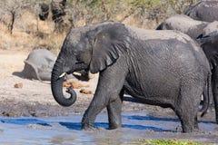 Elefantflock som spelar i lerigt vatten med lotten av gyckel Royaltyfri Foto