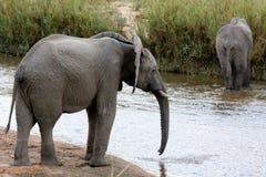 Elefantflodkorsning Royaltyfria Bilder