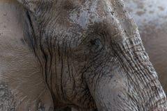 Elefantframsida Arkivbild