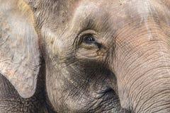 Elefantframsida Arkivfoto