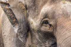 Elefantframsida Royaltyfri Fotografi