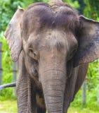 Elefantframsida Fotografering för Bildbyråer