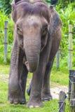 Elefantframsida Royaltyfri Foto