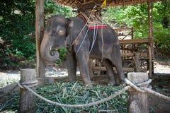 Elefantgefangener in der Gefangenschaft Stockfotos