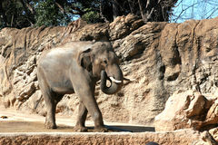 Elefantgehen Stockbilder