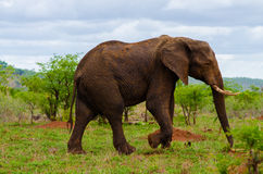 Elefantgehen Lizenzfreies Stockbild