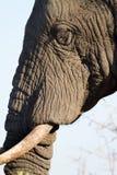 Elefantgesichts-Porträtnahaufnahme Lizenzfreie Stockbilder