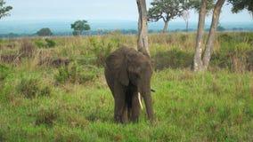 Elefantgröngölingen matar på gräs i den afrikanska savannet bland träd arkivfilmer