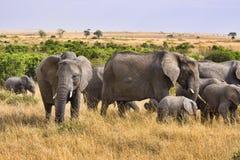 elefantgrupp Arkivbilder