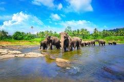 Elefantgrupp i floden Arkivfoto