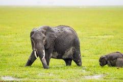 Elefanthälfte untergetaucht in den Sümpfen von Amboseli-Park Stockbild
