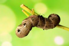 Elefanthök-mal larv Royaltyfri Fotografi