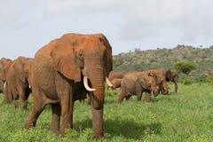 Elefantherde stockbild