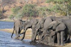 Elefantherde Stockfoto