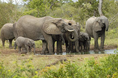 Elefantherde 1 stockbilder