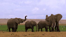 Elefantherde in Amboseli Stockfotos