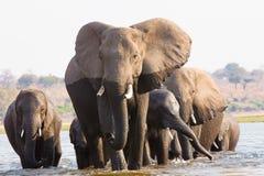 Elefantherde, die den Fluss kreuzt stockfoto