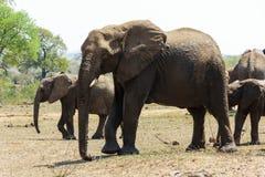 Elefantherde, die durch eine kleine Reinigung im Park sich bewegt stockbilder