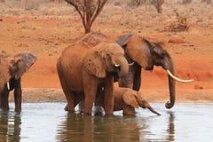 Elefantherde, die in einem Pool dirnking ist stockbild