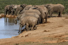 Elefantherde, die etwas trinkt Stockbild