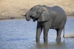 Elefantherde, die im schlammigen Wasser mit Los Spaß spielt Lizenzfreies Stockfoto