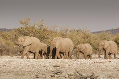 Elefantherde, die marschiert, um zu wässern Lizenzfreies Stockbild