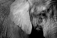elefanthuvud Royaltyfria Foton