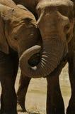 Elefanti Immagine Stock