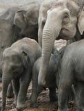 Elefanti Fotografia Stock