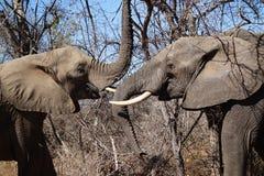 elefanti Fotografia Stock Libera da Diritti
