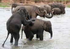 Elefanti accoppiamento fotografia stock