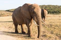 Elefanti in Addo Elephant National Park Port Elizabeth - nel Sudafrica fotografia stock libera da diritti