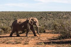 Elefanti in Addo Elephant National Park Port Elizabeth - nel Sudafrica fotografie stock