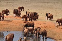 Elefanti in Africa Fotografia Stock