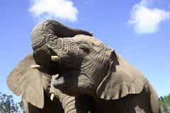 Elefanti africani Fotografia Stock Libera da Diritti
