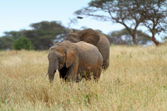 Elefanti africani Fotografie Stock Libere da Diritti