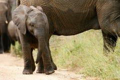 Elefanti africani Fotografie Stock