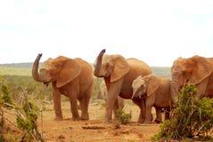 Elefanti africani Immagine Stock Libera da Diritti