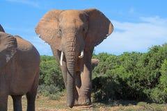 Elefanti africani Fotografia Stock