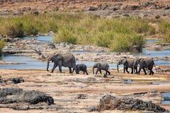 Elefanti africani (africana del Loxodonta) Immagine Stock Libera da Diritti