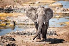 Elefanti africani (africana del Loxodonta) Fotografia Stock Libera da Diritti